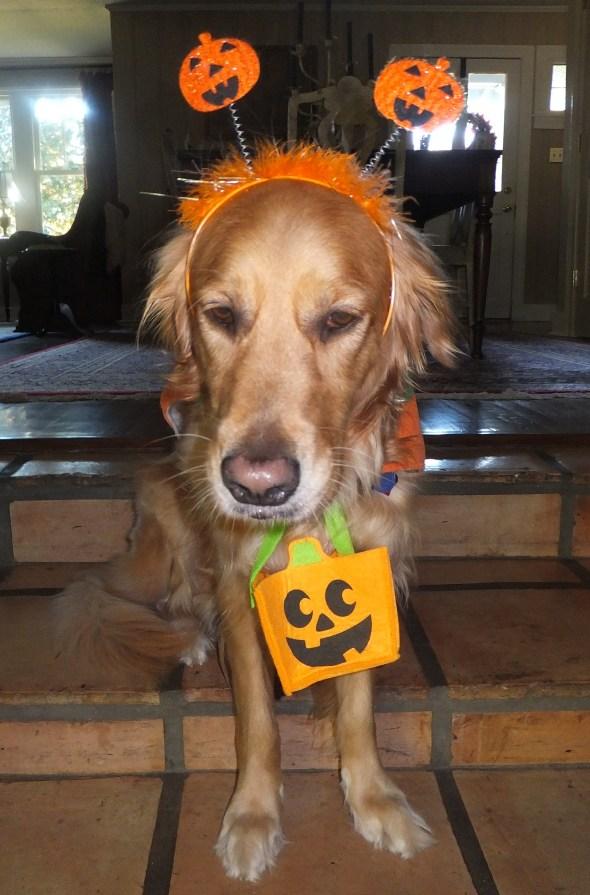 Halloween Costume 2 thek9harperlee