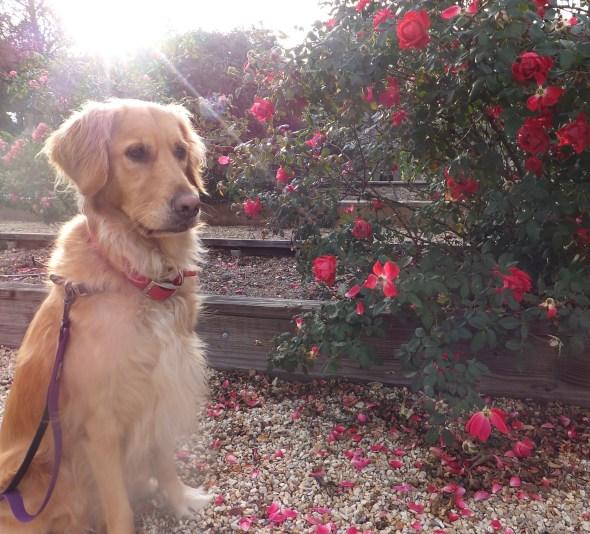 Roses 3 thek9harperlee