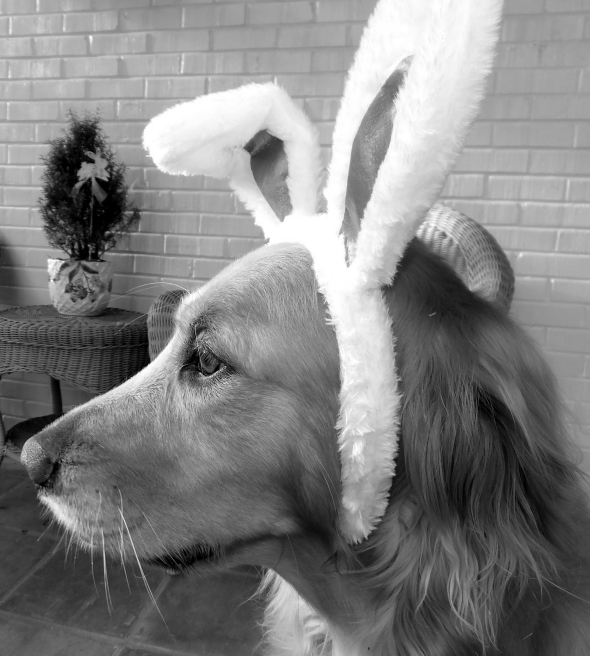 A Golden Bunny thek9harperlee