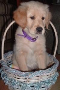 Basket Puppy thek9harperlee