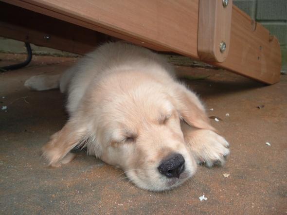 Puppy Nap thek9harperlee