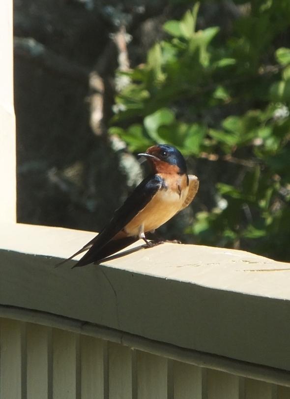 Barn Swallow thrk9harperlee