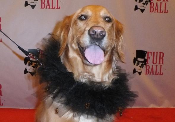 Fur Ball 7 thek9harperlee