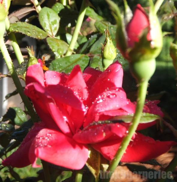 Smell the Roses thek9harperlee
