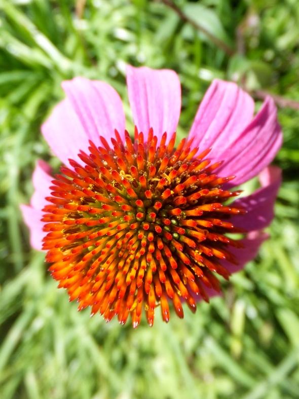 Cone flower thek9harperlee