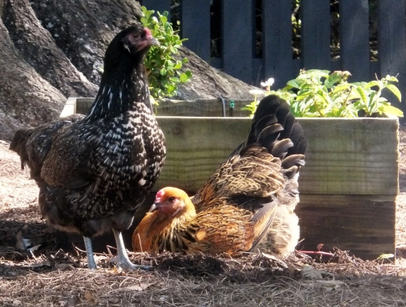 Chickens 4 thek9harperlee